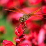 Dragonfly sitting on red flower closeup
